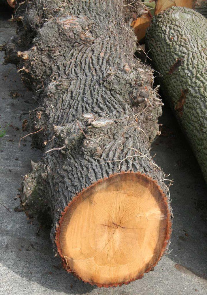 Eichenstamm rohstoff Holz